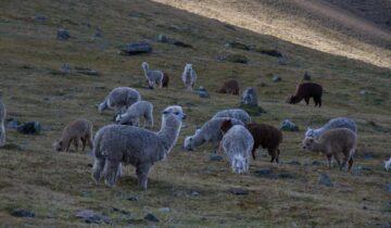 Alpakawolle – gemütlich und nachhaltig